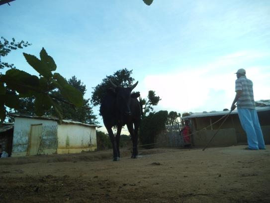 Eine Kuh aus der Froschperspektive